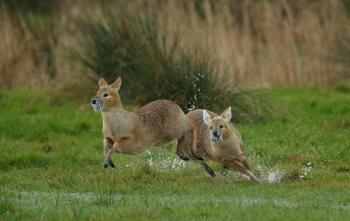 thingswithantlers:  Chinese Water Deer by mikemcken8