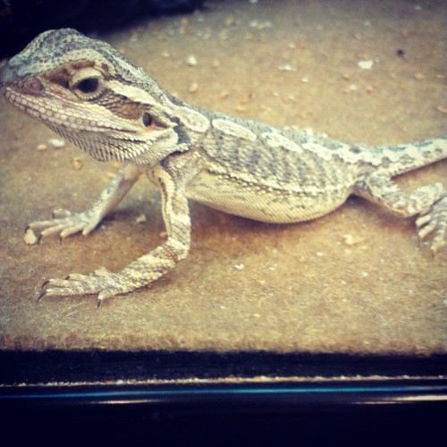 I'm going to get a baby #beardeddragon