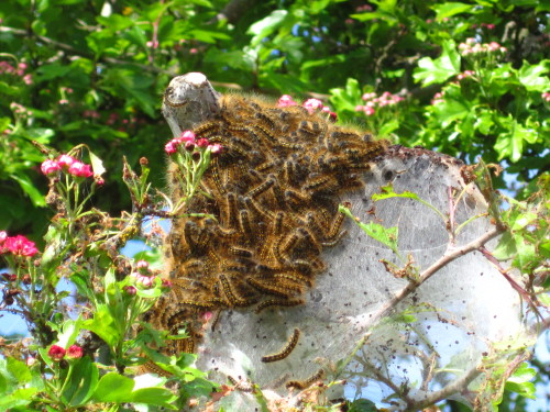 Sorry if this gives anyone nightmares, but… These caterpillar nests are everywhere this year.  When I first saw them, I thought that people had done a poor job or removing their Halloween spider web decorations.  Then, I realized they were everywhere & did some further inspection.  Apparently they go crazy when the winter isn't cold enough.  They're hatching now & about to eat up all of our gardens.  My neighbor & I have discussed burning all the trees down….