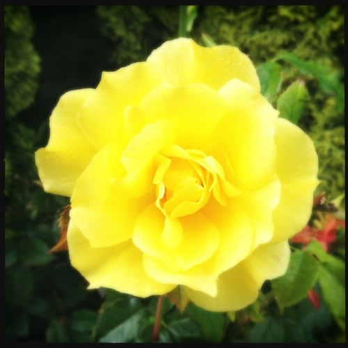 Yellow Mother's Day Rose. #rose #yellow #mothersday