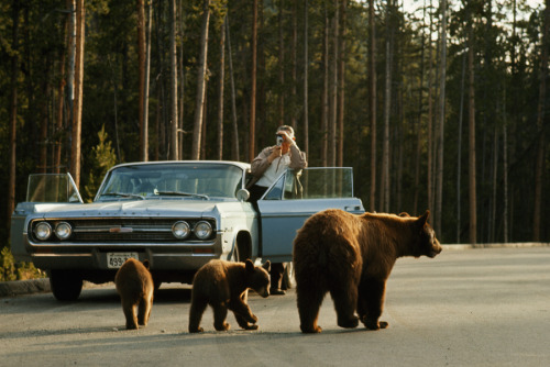 natgeofound:  A park visitor films an American black bear and her two cubs in Yellowstone, December 1965.Photograph by Dean Conger, National Geographic