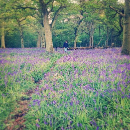 My love #bluebells #woods #forest #photography #photooftheday
