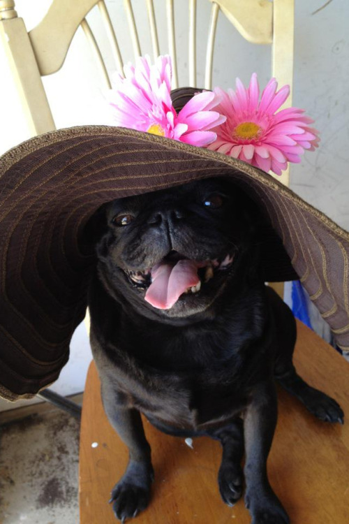 fakesororitygirl:  Steve the pug!!!!!!!!!