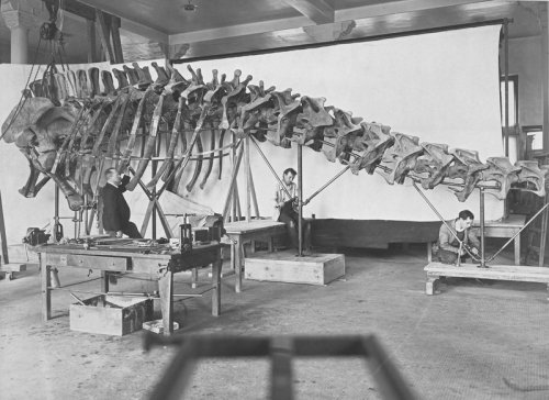 Today's look into the archives: Museum staff mounting an Apatosaurus (then known as Brontosaurus) skeleton, 1904© AMNH Library/#326379