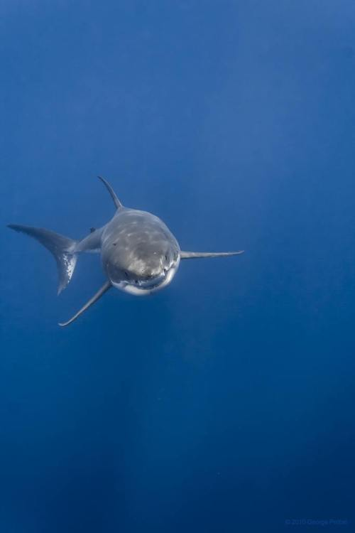 hope-ful-venture:  Great White Shark Rising | by George Probst