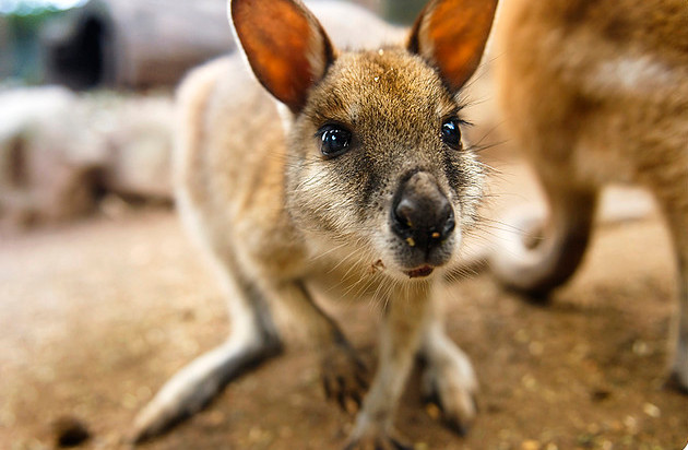 Baby kangaroo :3 ♥ Animal blog ♥