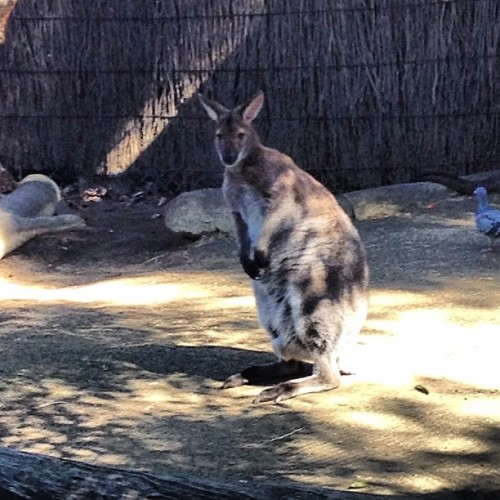 Kangaroo!  (at Taronga Zoo)