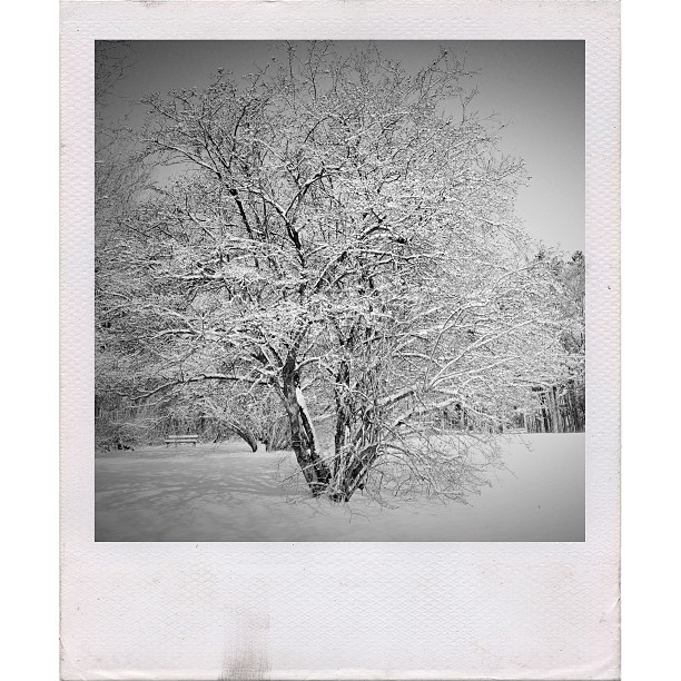 Covered #afterlight #snow #winter #trees