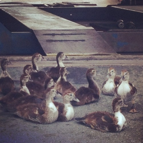 Baby ducks at the car wash. So cute
