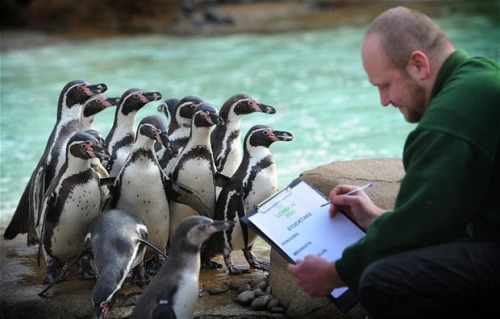 Zookeeper Tim Savage conducts the annual penguin pool stock-take at London Zoo. I want to count penguins!