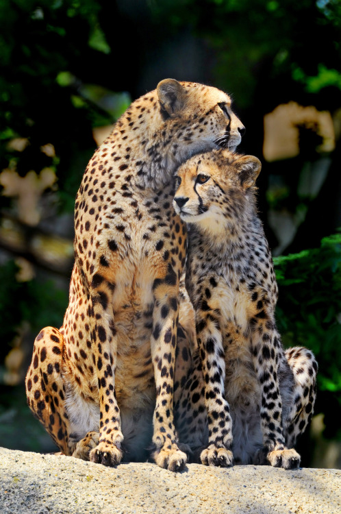 cheetah-chaser:  By Tambako the Jaguar