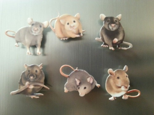 Moved myself into my new dorm today I put my rattie magnets on the fridge…home is where the ratties are