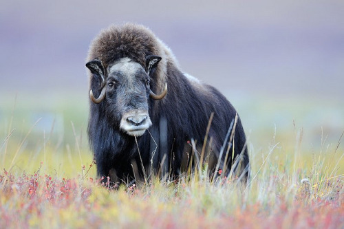 wapiti3:  Muskox on Flickr.  by Ben Hattenbach