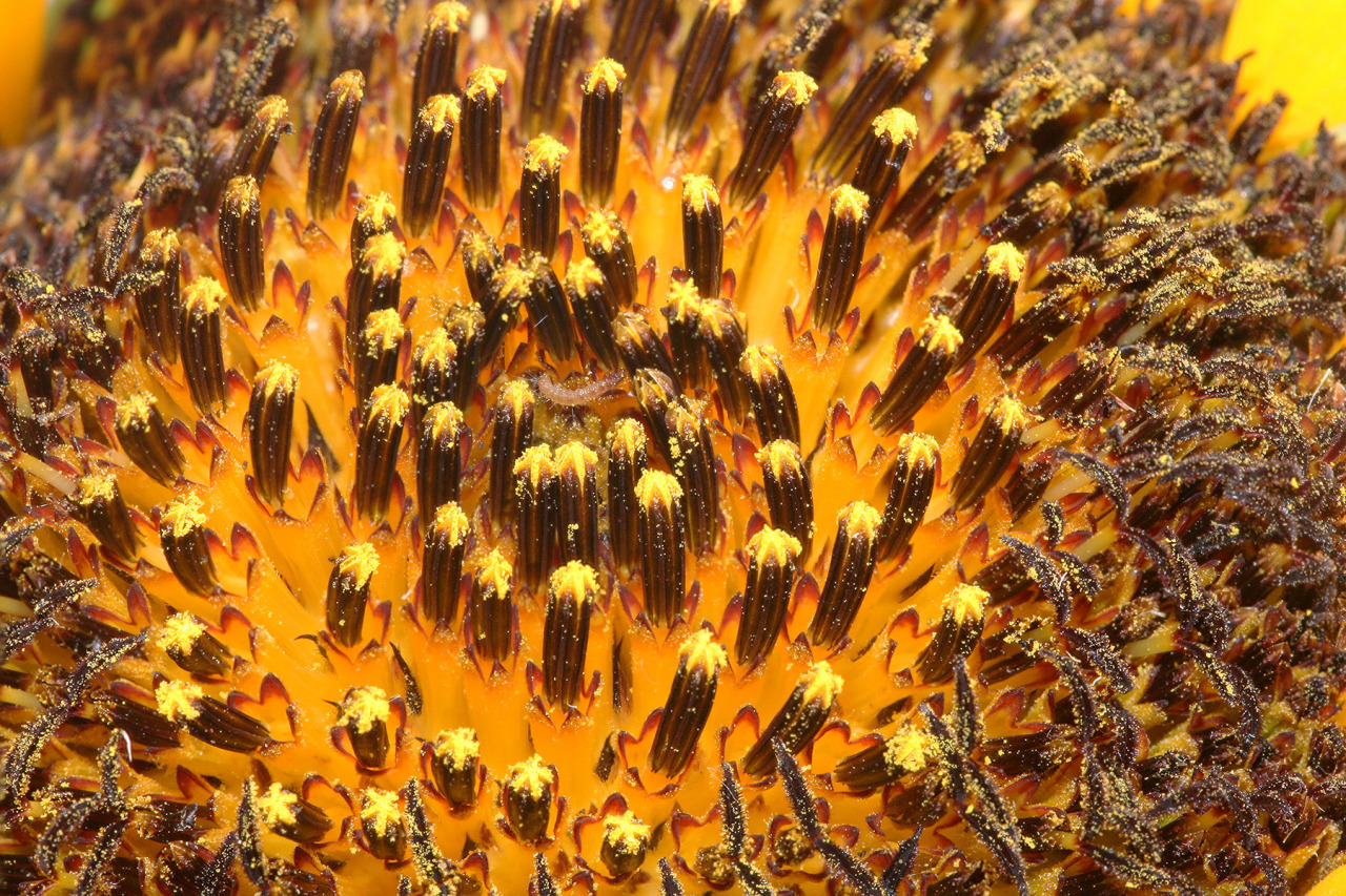 "Sunflowers, members of the Asteraceae family, are actually made of hundreds of tiny flowers, not just one large one. The center of a sunflower is packed with tiny flowers called disc florets, seen here. The ""petals"" around the edge of the sunflower head (the whole thing is called an inflorescence) are called ray florets. [x]"