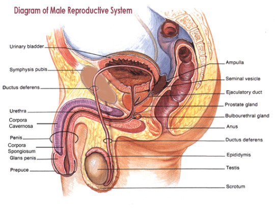 Female reproductive system anatomy and vagina