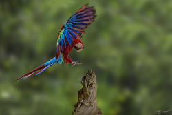 fairy-wren:  Greenwing Macaw (photo by Atif Saeed)