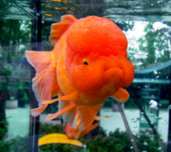 hotlocalsingle:  the kids i was babysitting had a fish like this and her name was gladys