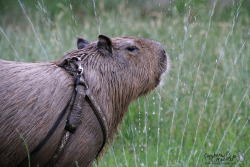 Garibaldi Rous learned how to drink out of a sprinkler today. There is also a video, Gari Discovers the Sprinkler.