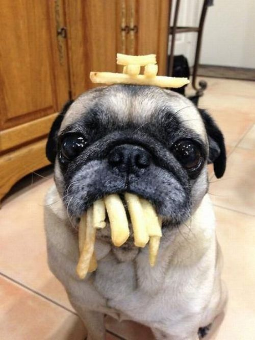 cutepugpics:  Why yes, puggie would like fries with that!