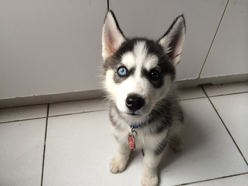 cute-overload:  My boyfriend gets to dog-sit this husky pup once a weekhttp://cute-overload.tumblr.com