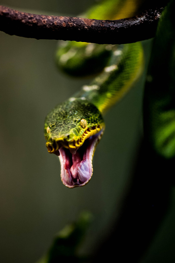 "magicalnaturetour:  ""Snake Attack!"" by Justin Lo"