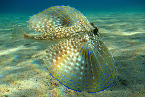 Flying Gurnard (Dactylopterus volitans) When alarmed, the flying gurnard spreads its large pectoral fins in order to frighten off predators. Despite its name, the fish cannot glide out of water.  Beckmannjan on Wikimedia Commons