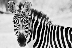 animalkingd0m:  Stripes by Sari Turunen