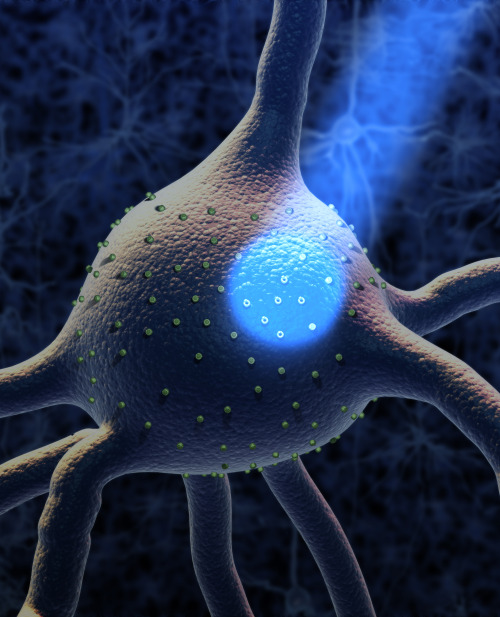 sciencesoup:   Optogenetics Optogenetics is the amazing field that combines optics and genetics in order to control events in living cells. First predicted by Francis Crick (yes, THAT Crick) in 1999, a breakthrough came in 2005 when researchers found that mammalian neurons could be targeted and manipulated through this process (Fancy!). Optogenetics depends on manipulating channelrhodopsin, a type of chemical pathway in cells that has the unique ability of being controllable with light. It allows for them to be activated or suppressed when differently colored lights are directed at points on the membrane, changing their chemical balance. One of the most significant results of this is that scientists can selectively fire individual or groups of neurons in the brain with a high degree of accuracy. Sparking a mini-revolution in neurosciences, optogenetics allows the study of specific brain functions, including behavior. Since exploding in 2006, researchers have discovered methods to control the ability for mice to awake from a nap, the speed of eye movements in nonhuman primates, changing of social behaviors (such as angry to friendly) and possibly to teach new cells in the eye to see. The latter is one of the first movements towards therapeutic uses, aiming to improve or return sight to those whose primary sight cells (cones and rods) are dead. Tests on rodents seem to indicate that optogenetics will allow for possible therapies for human brain disorders, but it is unknown if some practices will scale to the complexity of the human brain. Guest article written by Andrew Kays (ThePublicScience.tumblr.com)