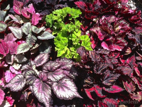 Shade gardening - forget the flowers…just use Begonias for their foliage.  They are available in an array of colors, shapes, sizes, and growth habits. Use them as bedding plants or accents in container gardens.