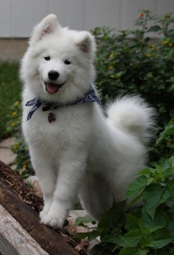 cuteness overload cute dogs cuteness doggies appreciation post cute puppies adorable puppies dog breeds cute pups cuteness daily samoyed dogs happy dogs happy pups adorable animal gifs cuteness-daily