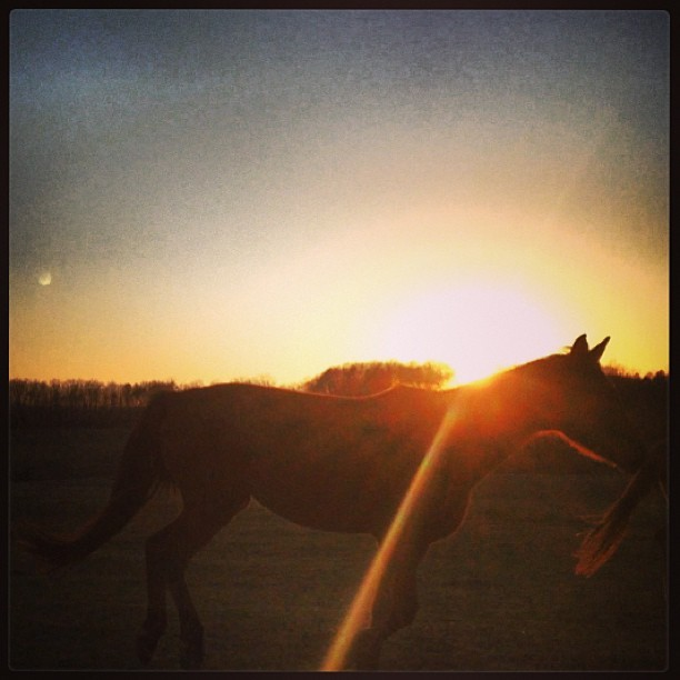Beauty, one of our domestic alphas, #running at #sundown.