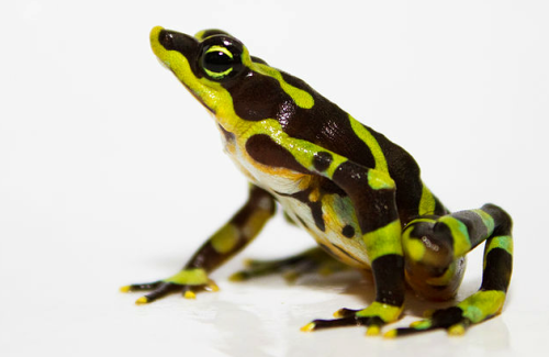World's Grooviest Endangered Frog Bred in Captivity for First Time by Julia Whitty Great news today that the endangered limosa harlequin frog (Atelopus limosus) has been bred in captivity for the first time. This unbelievably groovy-looking character is native to the tropical lowland forests of eastern Panama. Six partner organizations forming the Panama Amphibian Rescue and Conservation Project have been caring for 65 adult limosa harlequin frogs, including: Figuring out how to arrange rocks in the breeding tank to create the submerged caves like those the frogs prefer in the wild Getting the right highly oxygenated, gently flowing water between 22 and 24 degrees Celsius (71-75 degrees Fahrenheit) Recreating the tadpoles' natural food—algal film growing on submerged rocks—by painting petri dishes with a solution of powdered spirulina algae and allowing it to dry In other words, awesome Mary Poppins babysitting duties. The project has successfully bred other challenging endangered species, including crowned treefrogs (Anotheca spinosa), horned marsupial frogs (Gastrotheca cornuta), and toad mountain harlequin frogs (A. certus)… (read more: MotherJones)            (photo: )