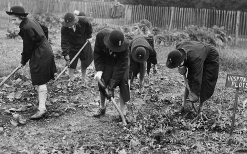 railways-and-roses:  Girl Guides of the 7th and 8th Putney Companies at work on their hospital allotment producing vegetables in November 1942.