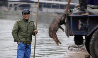 (via Number of dead pigs found in Chinese rivers rises to 16,000 | World news | guardian.co.uk)