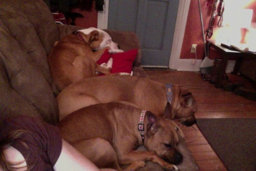 "Let's play ""How many Pit Bulls can Alex fit on her Couch?"""