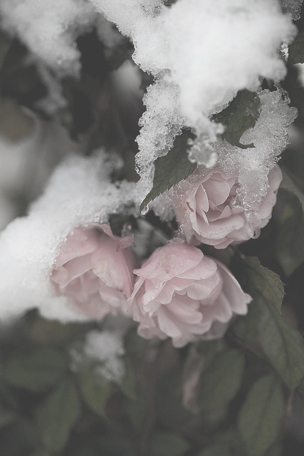 qodless:  edited version of snow roses