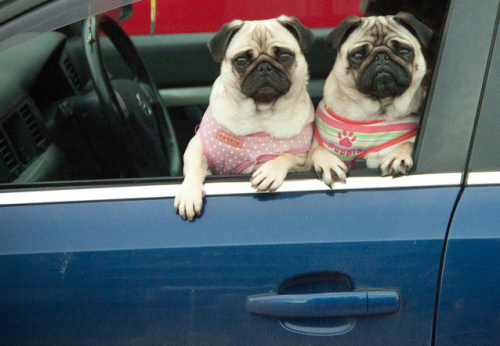 we-heart-pugs:  Get in loser, we're going shopping.  Pimp this ride, brah.