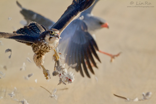 fairy-wren:  lanner falcon and pale chanting goshawk (photo by linruphotography)