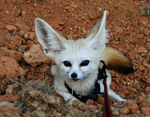 zeus the fennec fox by azivil on Flickr.