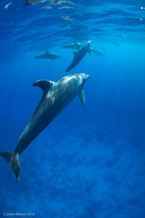 100leaguesunderthesea:  Snorkeling with dolphins by Justin Beevor