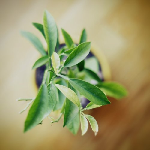 aureliavphoto:  Yellow green Inventory continues. 5 Year old tangerine plant