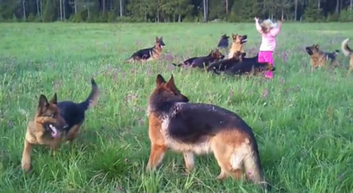 collegehumor:  Video: Little Girl Plays with 14 German Shepherds Wait til they find the drugs.
