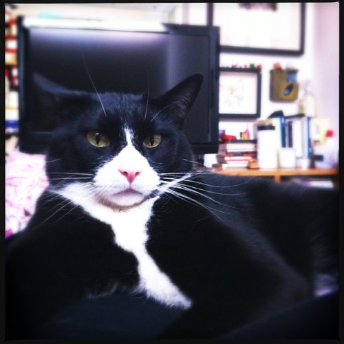Manolo. ❤ #goodnight #cat #catsofinstagram #tuxedocat #manolo #animal #nature #knowingtheworldthroughnature #pet #love #cute #serious