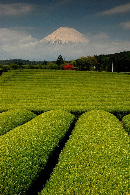 stonershy:  Mt. Fuji and a green tea farm