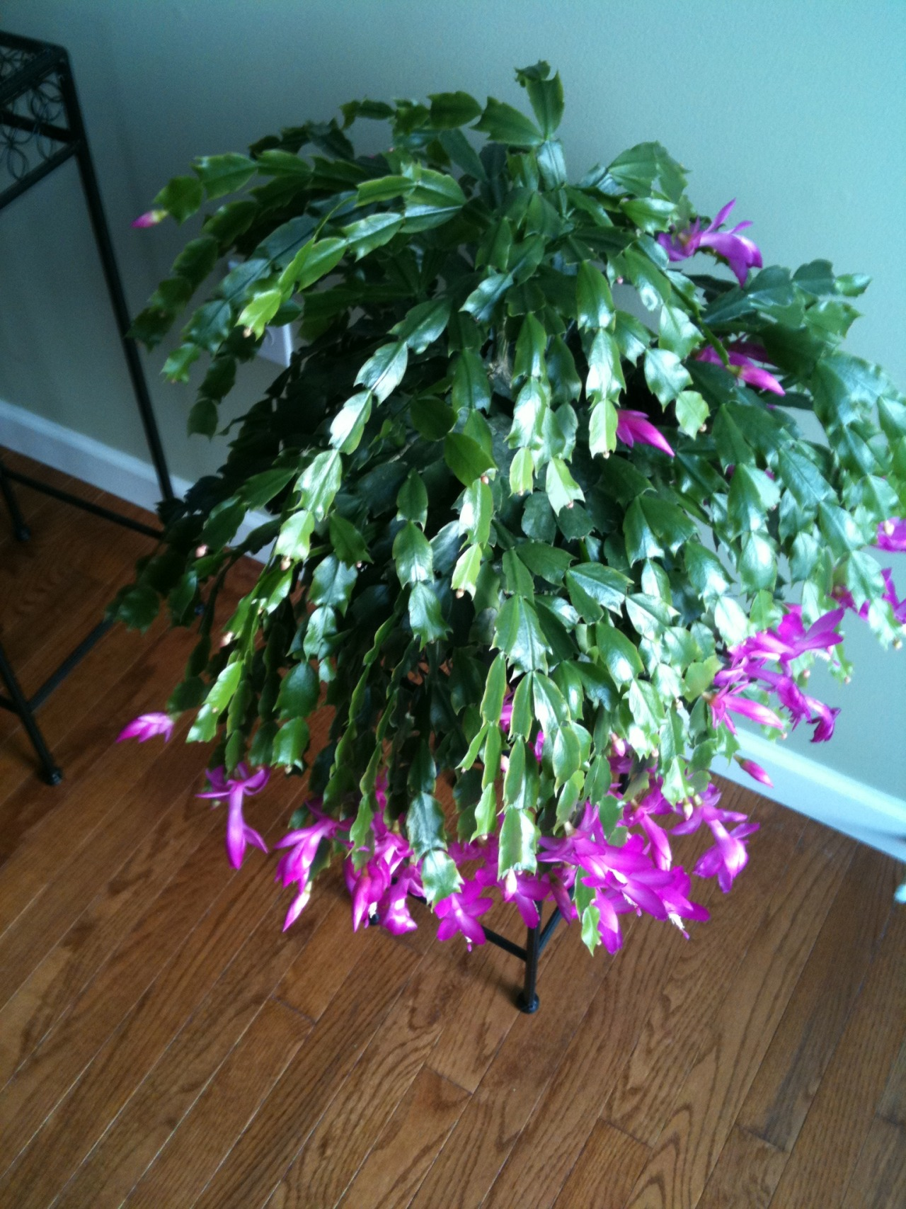 For some reason, the Christmas Cactus from my Dad's funeral has bloomed again in February.  I think he likes what I am doing with the blog as he was another who battled cancer!!  Have a great weekend everyone!