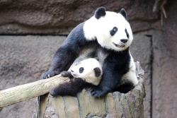 fuckyeahgiantpanda:  Xiao Liwu and mother Bai Yun at the San Diego Zoo, on Jan. 24, 2013. © John Bryant.