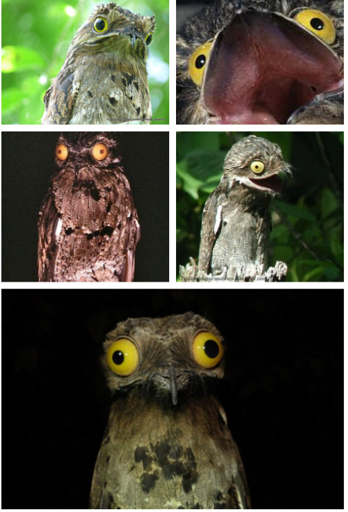 pretty-fine:  Meet the common Potoo of South & Central America..