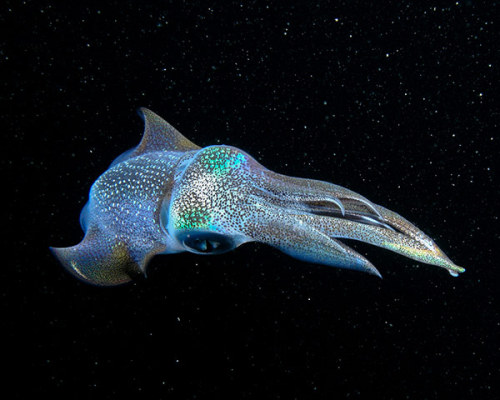 ecocides:  The Galactic Squid - waters off Okinawa, Japan | image by Cameron Knudsen