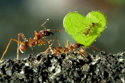 Insect affection: Ants carry a heart-shaped leaf