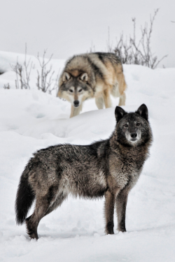 wandering-through-nature:  0rient-express: Wolves (by Anita Erdmann).